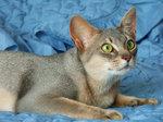 Лежащая Абиссинская кошка