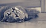 Британская короткошерстная кошка лежит