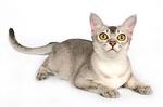 Кот породы Бурмилла лежит