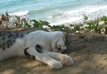 Кипрская кошка лежит