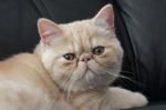 Экзотическая короткошерстная кошка лежит