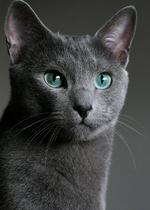 Волшебная Русская голубая кошка