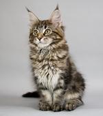 Портрет котенка породы Мейн Кун
