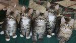 Котята Мейн Куна