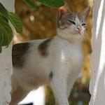 Величественный Эгейский кот
