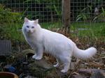 Величественная Азиатская полудлинная кошка