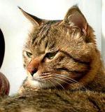 Величественный кот породы Дракон Ли