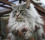 Величественная Норвежская лесная кошка