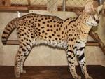 Величественный кот породы Саванна