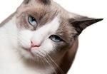 Величественный кот Сноу-шу