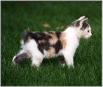 Котенок Манкс на природе