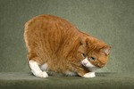 Кот Манкс наблюдает