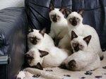 Котята Меконгского Бобтейла на диване