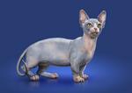 Рисунок кота породы Минскин