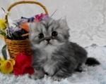 Котенок породы Наполеон возле корзины