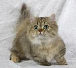 Портрет котенка породы Наполеон