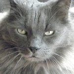 Морда кота породы Нибелунг