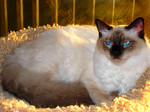 Милая Балинезийская кошка