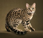 Милый Бенгальский кот
