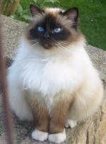 Милая Бирманская кошка
