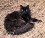 Милый кот породы Шантильи-Тиффани