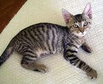 Милый котенок породы Чито