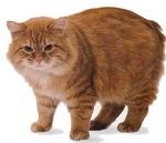 Милый кот породы Кимрик