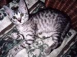 Милый котенок Египетского Мау