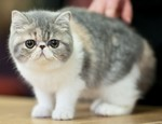 Симпатичный котенок Экзотической короткошерстной кошки