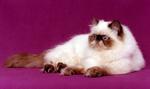 Милый Персидский Колор-поинт