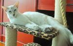 Хорошая Яванская кошка