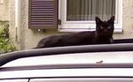 Милый кот породы Корн Джа