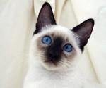 Милый Сиамский кот