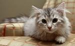 Милая Сибирская кошка