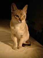 Милый кот породы Сингапура