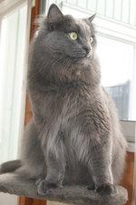 Милая Шведская лесная кошка