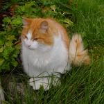Норвежская лесная кошка на природе