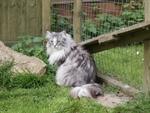 Норвежская лесная кошка во дворе