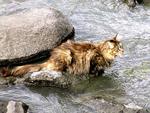 Норвежская лесная кошка в воде