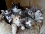 Котята Норвежской лесной кошки на диване