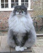 Норвежская лесная кошка возле дома