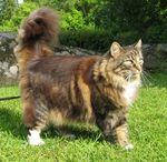 Норвежская лесная кошка на траве
