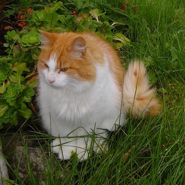 Норвежская лесная кошка фото