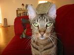 Морда кота породы Оцикот