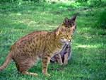 Кошки Оцикот наблюдают