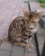 Кот породы Оцикот на прогулке