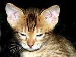 Котенок породы Оцикот