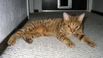 Кот породы Оцикот на полу