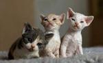 Котята породы Орегон Рекс