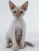 Портрет кота породы Орегон Рекс